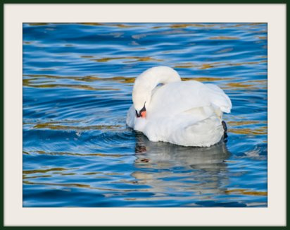 White Swan, White Swan cleaning himself
