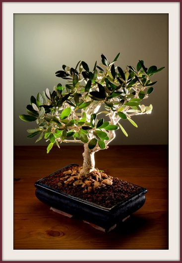 bonsai olive tree, olive bonsai trees